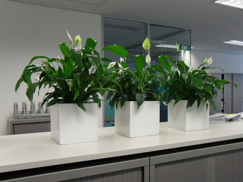 Gallery pictures of indoor plants gaddys plant hire - The best office plants ...