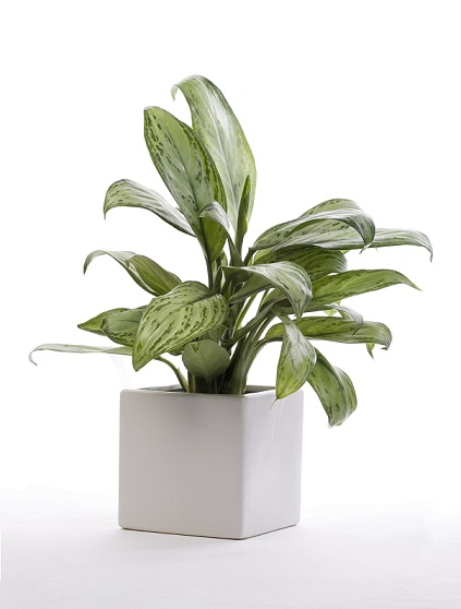 Aglaonema in Marcato Desktop