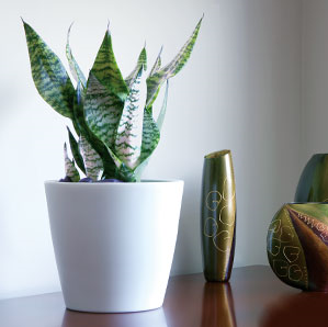 Sansevieria with Classico Planter