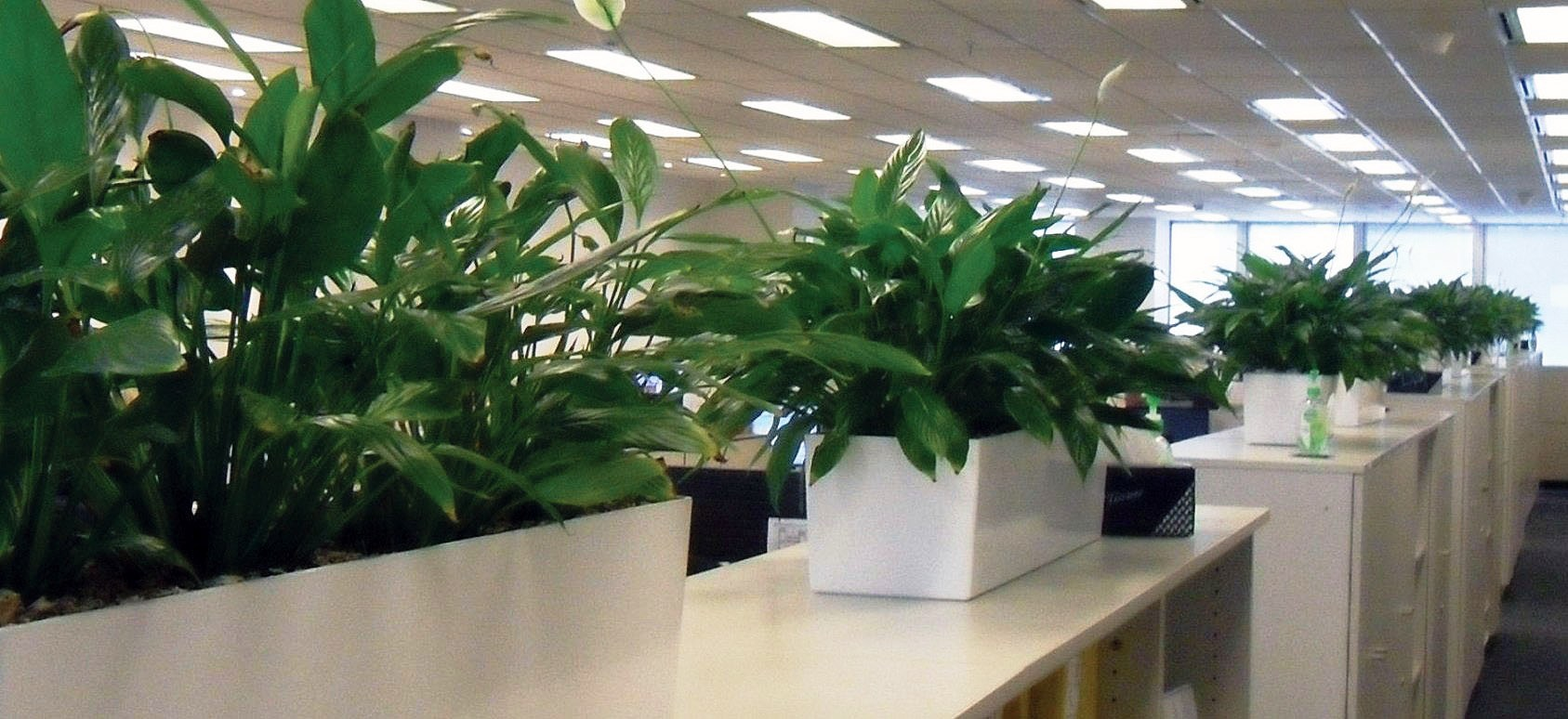Spathiphyllum in partition trough gaddys plant hire - Cubicle planters ...