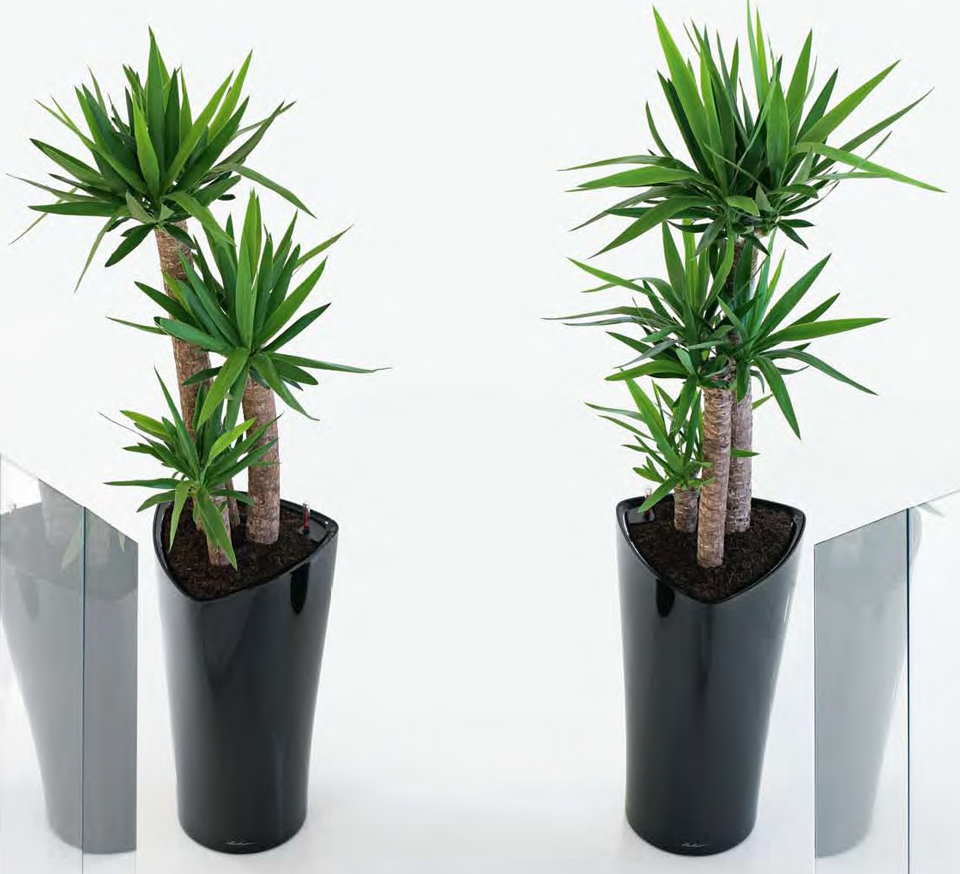 Yucca Plants with Delta Planter