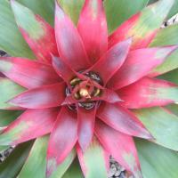 guzmaniaflowerdecora